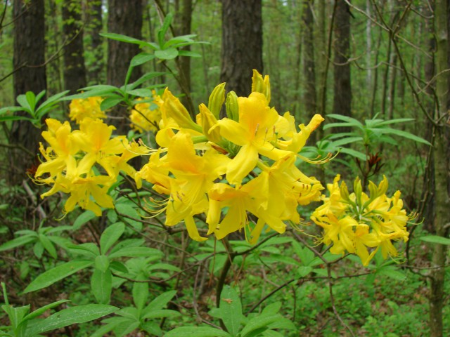 Рододендрон жовтий (Rhododendron luteum)