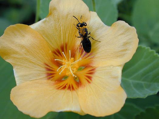 Вперше бджіл внесли до переліку видів, яким загрожує зникнення