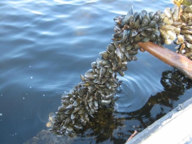 В Одесі мають намір очищувати море за допомогою колекторів з мідіями