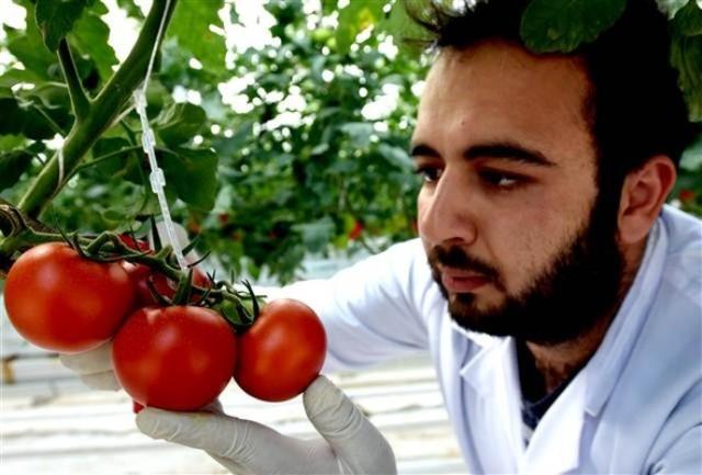 В Туреччині щорічно вирощуватимуть 500 тис. тонн помідорів в геотермальних теплицях