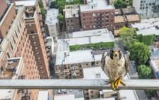 Конкурс екологічної фотографії Atkins CIWEM. Peregrine on a balcony in Chicago. Luke Massey.  Сапсанів знищили у штаті Іллінойс в 1960-х роках, але в 1980-х почалась програма відновлення виду, і тепер лише в Чикаго гніздяться 22 пари. Одна пара обрала для гнізда балкон чиказького будинку.